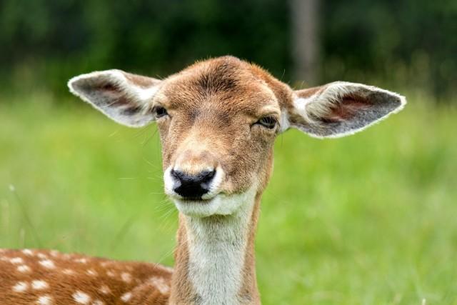 skeptical deer
