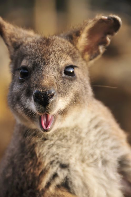 tuesday kangaroo