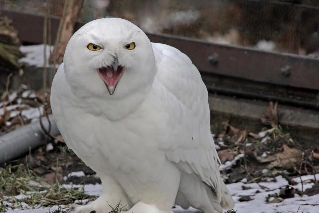 trivia snowy owl